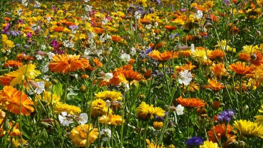 Eine Blumenwiese mit vielen bunten Blumen in den Farben Gelb, Orange, Blau und Weiß.